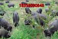 广西省养驴种植什么牧草品种