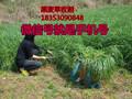 潍坊市养羊牧草种子紫花苜蓿哪里有卖的多少钱一斤图片