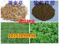 重庆市万州多年生进口黑麦草种子哪里卖的便宜图片