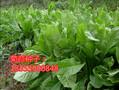 安徽省来安县养羊种植哪些牧草种子好哪里卖图片