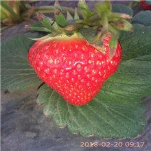 京藏香草莓苗价格全明星草莓苗几月份可以移栽图片