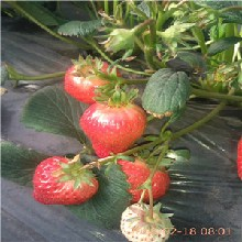 红颜草莓苗价格奶油草莓苗繁育基地图片