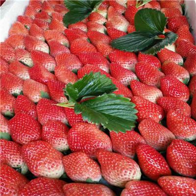 山東草莓苗基地梅香草莓苗批發多錢