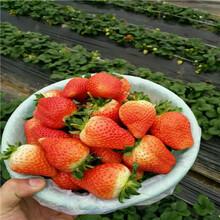 草莓種苗批發基地明旭草莓苗批發價格圖片