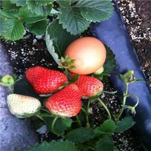 山東草莓苗基地草莓種苗苗場電話圖片