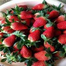 秋季草莓小苗供應越麗草莓苗種植技術圖片