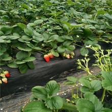 秋季草莓小苗供應基地報價石莓七號草莓苗價格及報價圖片