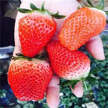 2020年山東草莓苗鬼奴甘草美苗多錢一棵圖片