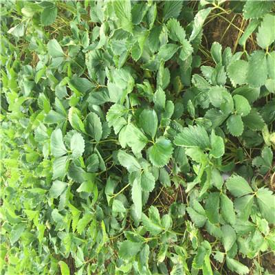 新品種草莓苗批發妙香草莓苗批發價格