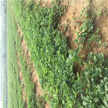 山東草莓苗基地鬼奴甘草美苗種植技術圖片