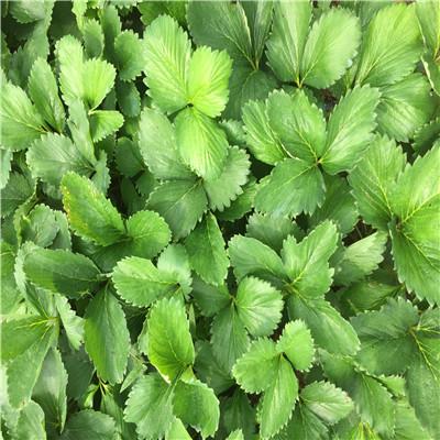草莓苗批發基地達娜草莓苗價格及報價