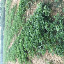 草莓種苗批發基地香蕉草莓苗苗場電話圖片