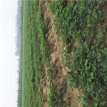 山東草莓苗基地雪蜜草莓苗出售電話圖片