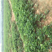 新品種草莓苗塞娃草莓苗種植技術圖片