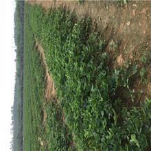 秋季草莓小苗供應咖啡草莓苗批發基地圖片