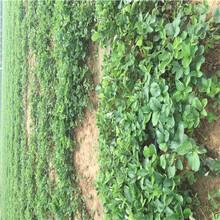 2020年山東草莓苗黔莓2號草莓苗現貨供應圖片