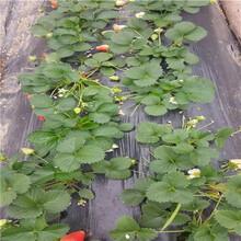 秋季草莓小苗供應黔莓2號草莓苗價格及報價圖片