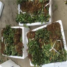 新品種草莓苗四季草莓苗批發價格圖片