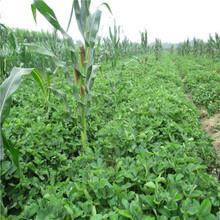 新品種草莓苗晶玉草莓苗批發價格圖片