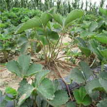 豐香草莓苗豐香草莓苗種植技術圖片