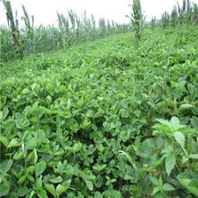 新品種草莓苗美香莎草莓苗基地報價圖片