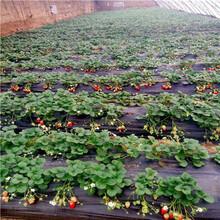 草莓種苗批發基地美香莎草莓苗批發基地圖片