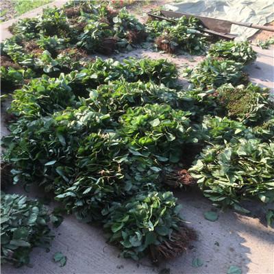 山東草莓苗基地石莓七號草莓苗出售電話