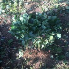 秋季草莓小苗供應美香莎草莓苗價格及報價圖片