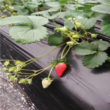 2020年山東草莓苗章姬草莓苗價格及報價圖片