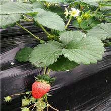 晶玉草莓苗晶玉草莓苗苗場電話圖片