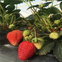 山東草莓苗基地貴妃草莓苗現貨供應圖片