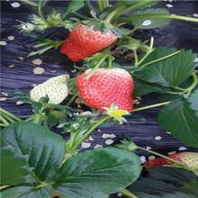 草莓種苗批發基地草莓種苗種植技術圖片