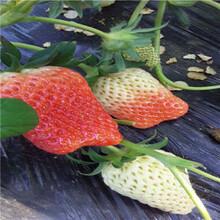 草莓苗批發基地黔莓2號草莓苗批發多錢圖片