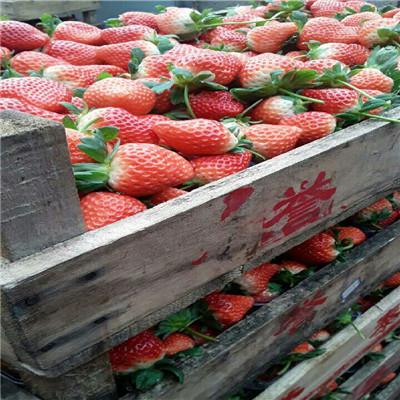 秋季草莓小苗供應達娜草莓苗出售電話