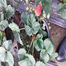 新品種草莓苗妙香七號草莓苗批發價格圖片