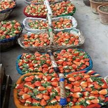秋季草莓小苗供應黔莓2號草莓苗批發基地圖片