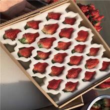 草莓種苗批發基地紅顏草莓苗出售電話圖片