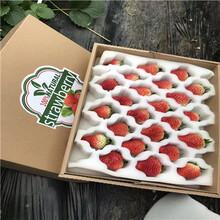 秋季草莓小苗供應桃熏草莓苗批發基地圖片