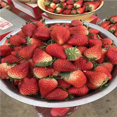 山東草莓苗基地紅顏草莓苗多錢一棵