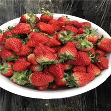 寧豐草莓苗寧豐草莓苗苗場電話圖片