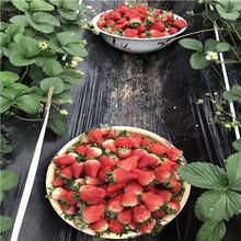 草莓種苗批發基地奶油草莓苗批發基地圖片