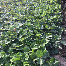秋季草莓小苗供應巧克力草莓苗出售電話圖片
