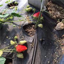 草莓種苗批發基地四季草莓苗批發多錢圖片
