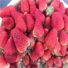 秋季草莓小苗供應石莓七號草莓苗批發基地圖片