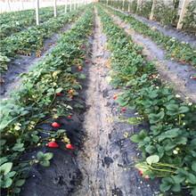 新品種草莓苗批發大棚草莓苗現貨供應圖片