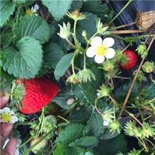 草莓種苗批發基地豐香草莓苗苗場電話圖片