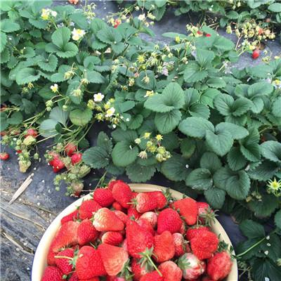 2020年山東草莓苗幸香草莓苗現貨供應