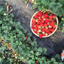 2020年山東草莓苗達娜草莓苗多錢一棵圖片