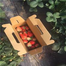 秋季草莓小苗供應甜王草莓苗種植技術圖片