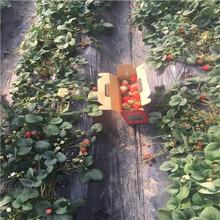 新品種草莓苗多錢一棵新明星草莓苗批發多錢圖片